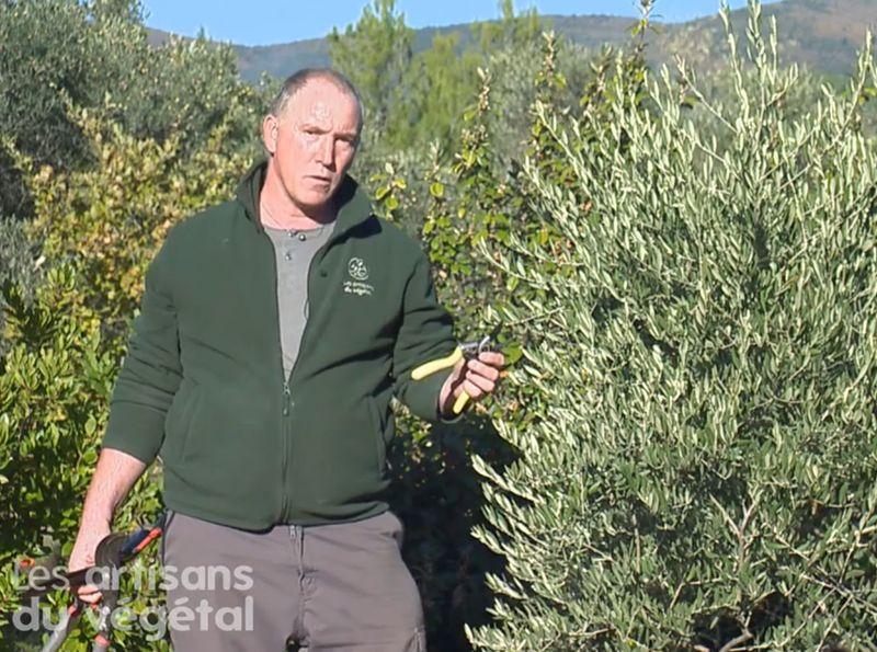Comment tailler votre olivier ?